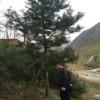 4米,5米,6米工程占地苗-西明占地苗