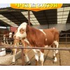 小牛犊价格肉牛品种选西门塔尔牛犊厂家直销免费运输
