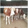 哪里有卖小牛犊的 肉牛犊价格 西门塔尔牛价格