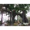 生物园仿真榕树
