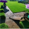 马尼拉草坪、绿化草皮