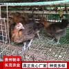 野鸡珍禽和家禽养殖养殖基地哪里有鸡苗批发