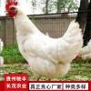 蛋鸡珍禽和家禽养殖养殖基地哪里有鸡苗批发