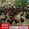 毛血土鸡珍禽和家禽养殖养殖基地哪里有鸡苗批发