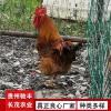 黄埔肉鸡珍禽和家禽养殖养殖基地哪里有鸡苗批发