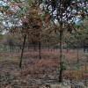 58公分高分枝丹桂 造型高分枝丹桂价格 造型高分枝丹桂 芳廷园林丹桂树