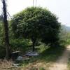 58公分高分枝丹桂 造型高分枝丹桂价格 园林绿化景观树 芳廷园林丹桂树