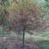 15公分高分枝丹桂 高分枝丹桂苗木 精品造型高分枝丹桂苗木基地 芳廷园林