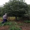 25公分低分枝丹桂 低分枝丹桂报价 造型低分枝丹桂 芳廷园林