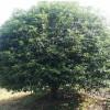 12公分低分枝丹桂 低分枝丹桂报价 造型低分枝丹桂价格 芳廷园林