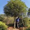 30公分低分枝丹桂 低分枝丹桂基地批发 造型低分枝丹桂价格 芳廷园林丹桂苗