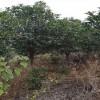 12公分低分枝丹桂 造型低分枝丹桂 景观低分枝丹桂苗 芳廷园林丹桂苗