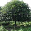1.5米分枝15公分丹桂 景观丹桂苗 精品丹桂 芳廷园林