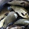 大理成品鱼供应渔场现货免费送货上门