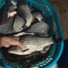 红河成品鱼渔场现货免费送货上门