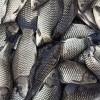 临沧淡水鱼批发渔场现货免费送货上门