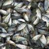 文山成品鱼渔场现货免费送货上门